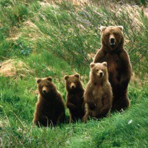 Burye-medvedi